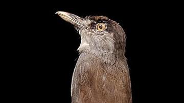 Myślano, że wyginął. Gatunek ptaka odnaleziony w dziczy po 180 latach